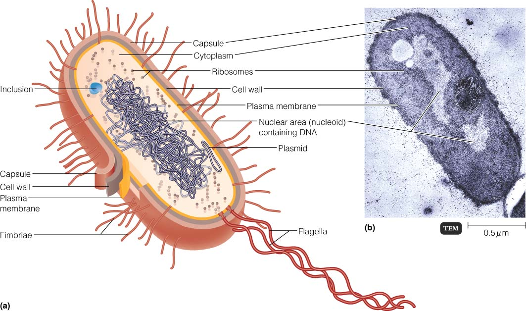 Bacterial Cell Anatomy Image Collections Human Body Anatomy